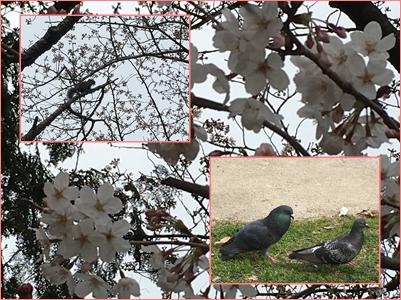 20160330野毛山花見